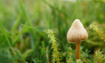 Le changement climatique prolonge la saison des champignons hallucinogènes en Grande Bretagne