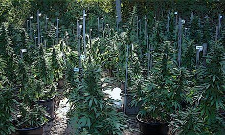 Déjà plus que 400 producteurs de cannabis CBD en Suisse