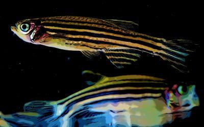Les poissons zèbre peuvent devenir addict aux opiacés