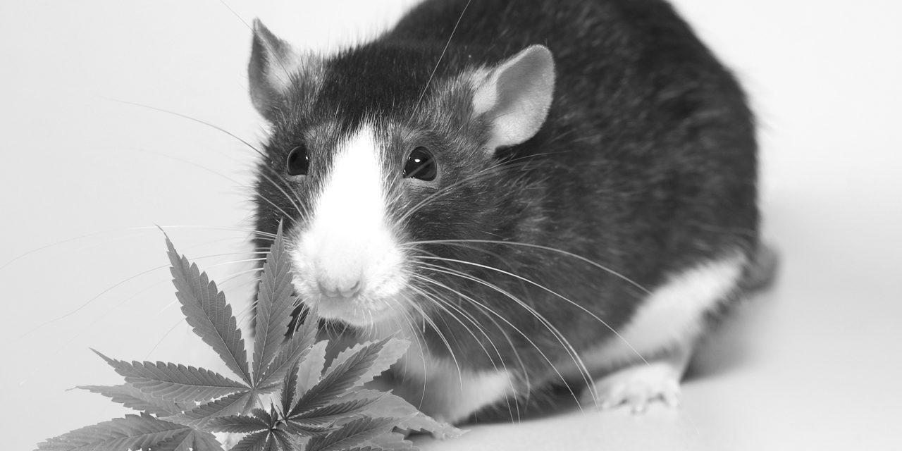 Un agoniste des récepteurs cannabinoïdes diminue la dépendance aux opiacés