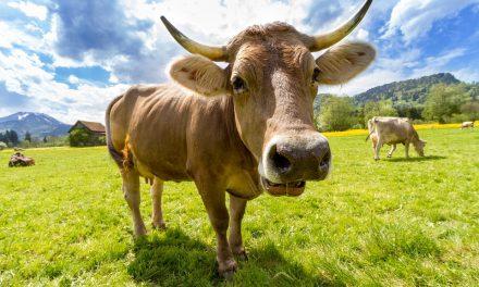 Une histoire vache