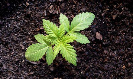 Pourquoi les fumeurs de cannabis consomment-ils?