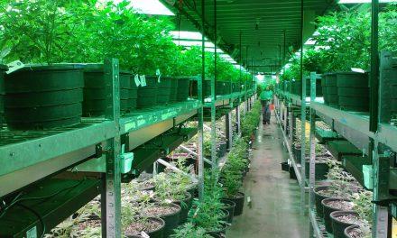 Le cannabis au Colorado contient encore trop de pesticides